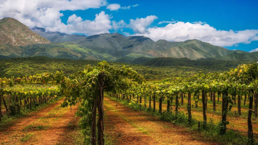 LA VIGNE CONTINUE: Tour d'horizon des petits producteurs de vi(e) en pleine crise économico-sanitaire.