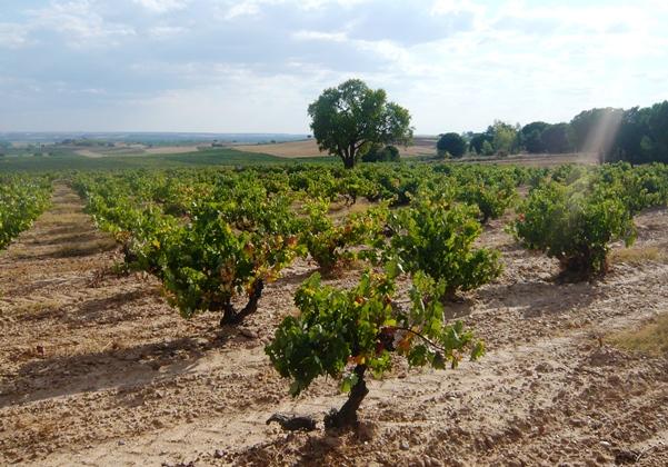 ribera del duero vieilles vignes